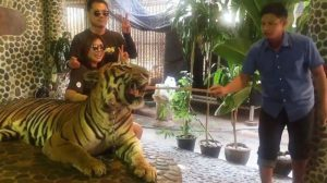 Tiger-poked-for-tourists-e1513956691355
